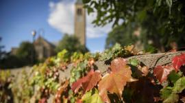 red ivy with clock tower in background